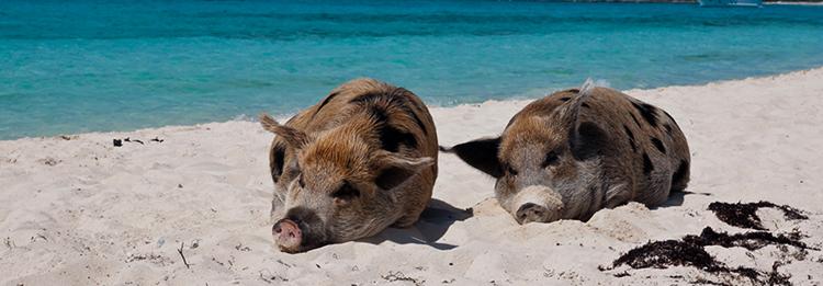 Пиг Бич (Pig Beach)